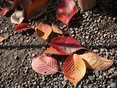 サクラの落ち葉