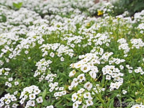 トロイツェ・セルギエフ大修道院内の花々