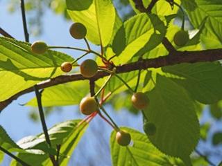 サクラの果実