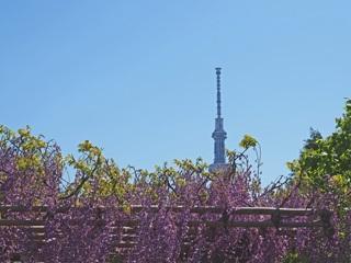 向島百花園から見た東京スカイツリーとフジの花