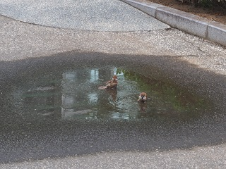 水浴びするスズメ