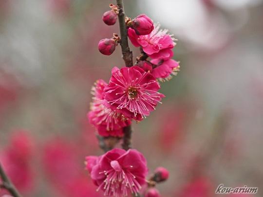 向島百花園の紅梅