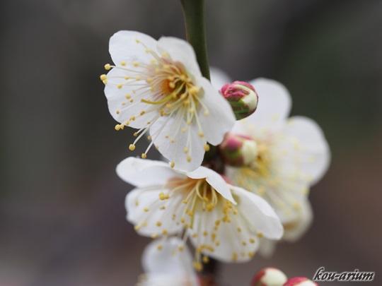 向島百花園の白梅