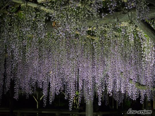 亀戸天神社の藤棚ライトアップ
