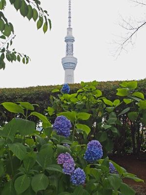 アジサイと東京スカイツリー