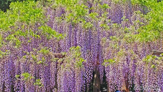 藤花園のフジ