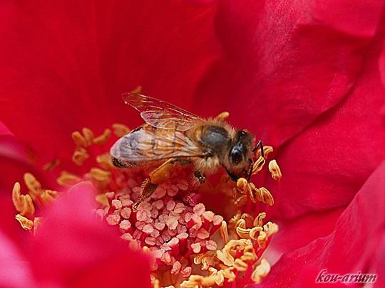 バラとハチ