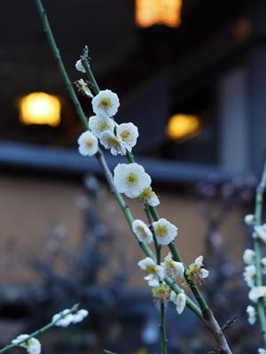 湯島天神の白梅