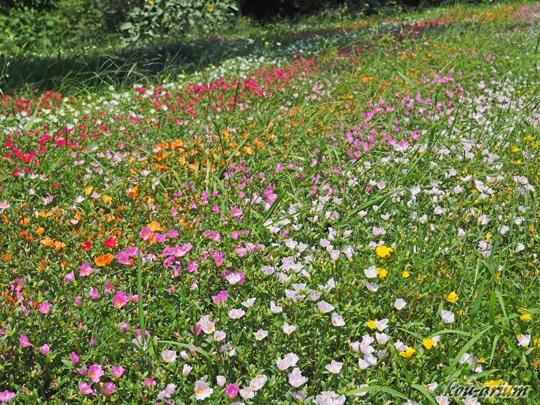 ポーチュラカの花畑
