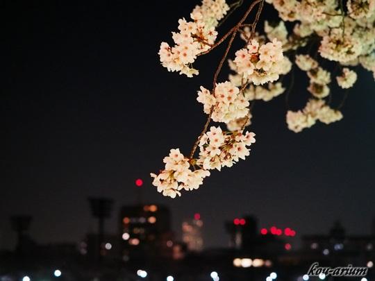 夜景とソメイヨシノ