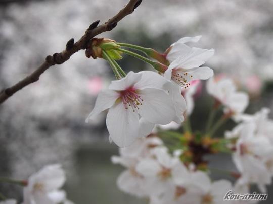 目黒川沿いのソメイヨシノ