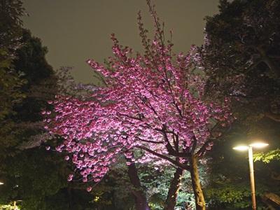 八芳園のヤエザクラ